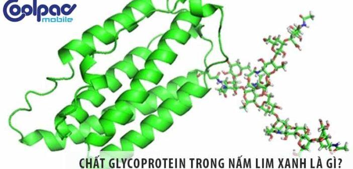 Chất glycoprotein trong nấm lim xanh là gì, có tác dụng thế nào?